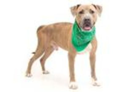 Adopt ZEUS a Brindle - with White American Pit Bull Terrier / Mixed dog in