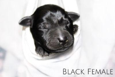 Labrador Retriever PUPPY FOR SALE ADN-90468 - Silver Charcoal Black and Chocolate Labradors