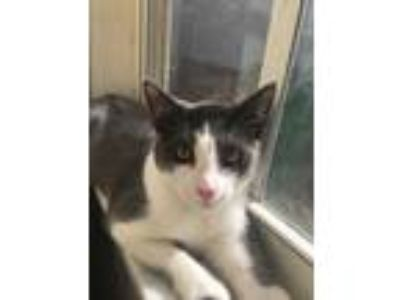 Adopt Pigeon a White (Mostly) Domestic Shorthair (short coat) cat in Fort
