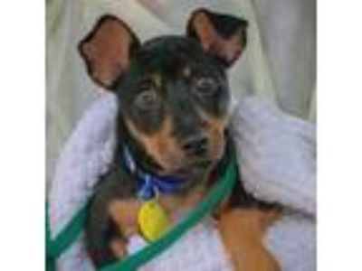Adopt Mosey a Rat Terrier, Mixed Breed