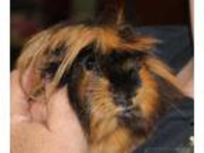 Adopt Reese a Brown or Chocolate Guinea Pig / Guinea Pig / Mixed small animal in
