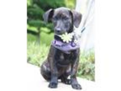 Adopt Marilyn a Brindle Dachshund / Terrier (Unknown Type