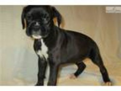 AKC registered female Boxer puppy (Macey)