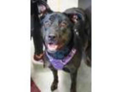 Adopt Lucy-sponsored $10 a Black Shepherd (Unknown Type) / Mixed dog in Bowling