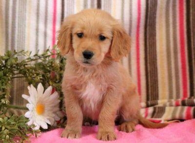 Golden Retriever PUPPY FOR SALE ADN-71279 - Golden Retriever Puppy for Sale