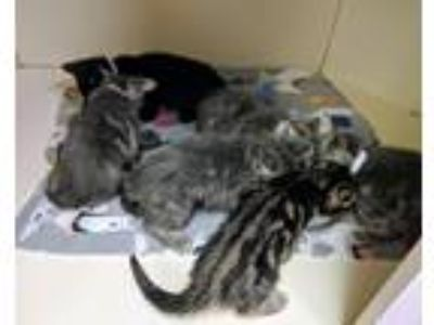 Adopt Kittens a Gray or Blue Domestic Mediumhair (medium coat) cat in Elyria
