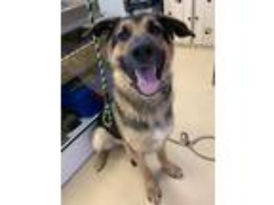 Adopt Mortimer - Chino Hills a Black - with Tan, Yellow or Fawn German Shepherd