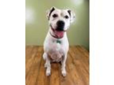 Adopt DaisyMae a Boxer, Mixed Breed