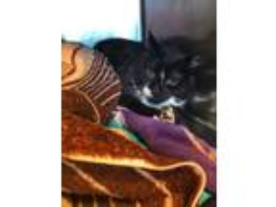 Adopt Alexi a Domestic Short Hair