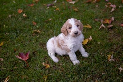 Goldendoodle-Poodle (Standard) Mix PUPPY FOR SALE ADN-103892 - Parti colored Goldendoodles