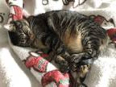 Adopt Grace a Gray, Blue or Silver Tabby American Shorthair cat in Santa Rosa
