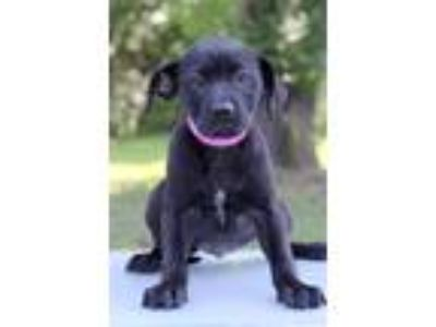 Adopt Henna a Black - with White Labrador Retriever / Mixed dog in Waldorf
