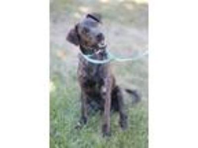 Adopt Zoey a Brindle Labrador Retriever / Plott Hound / Mixed dog in Plainfield