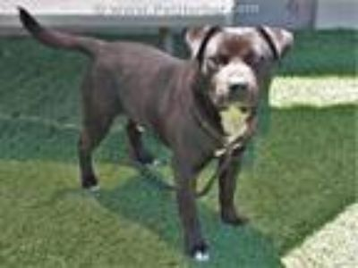 Adopt DAVY a Staffordshire Bull Terrier, Mixed Breed