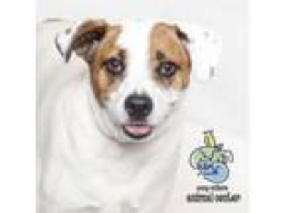 Adopt Zara a White - with Tan, Yellow or Fawn Cattle Dog dog in Knoxville