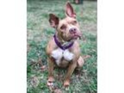 Adopt Mango a Red/Golden/Orange/Chestnut - with White American Pit Bull Terrier