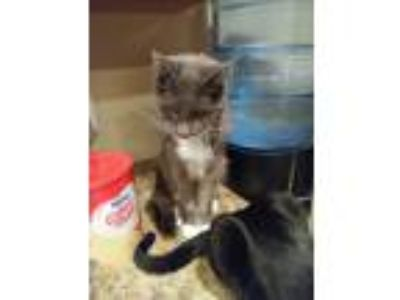 Adopt Morgie a Gray or Blue American Shorthair / Mixed cat in San Tan Valley