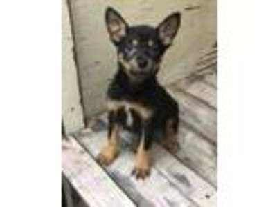 Adopt Emma Frost a Black - with Brown, Red, Golden, Orange or Chestnut Blue