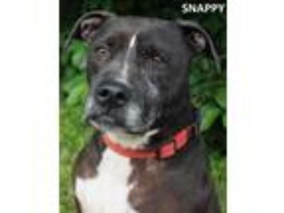 Adopt Snappy a Black Labrador Retriever / American Pit Bull Terrier / Mixed dog