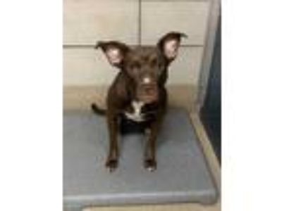 Adopt Melinda a Brown/Chocolate American Pit Bull Terrier / Mixed dog in Fort
