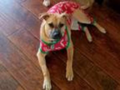 Adopt Lilly a Cattle Dog, American Staffordshire Terrier