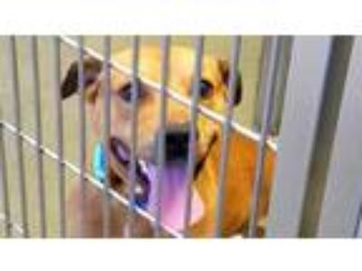 Adopt UNKNOWN a Red/Golden/Orange/Chestnut American Pit Bull Terrier / Mixed dog