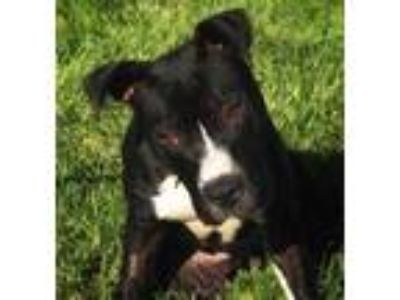 Adopt MONSTER a Black - with White American Pit Bull Terrier / Mixed dog in