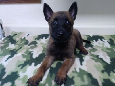 Belgian Malinois PUPPY FOR SALE ADN-89669 - AKC Malinois Puppies