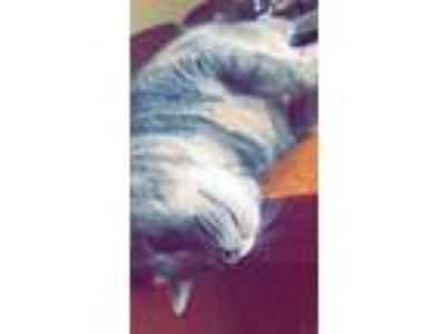 Adopt Jade a Brown or Chocolate (Mostly) American Shorthair cat in Roanoke