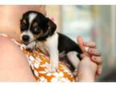 Adopt Bruno a Tricolor (Tan/Brown & Black & White) Rat Terrier / Mixed dog in