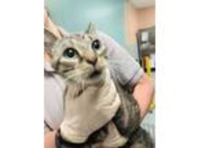 Adopt Misty a Gray or Blue Domestic Shorthair / Domestic Shorthair / Mixed cat