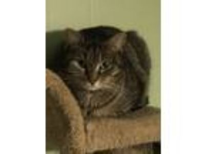 Adopt Bop a Brown Tabby Domestic Shorthair (short coat) cat in Monroe