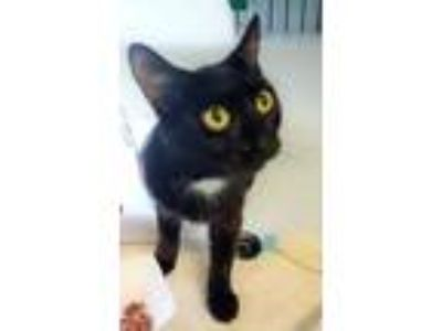 Adopt Momma a All Black Domestic Shorthair / Domestic Shorthair / Mixed cat in
