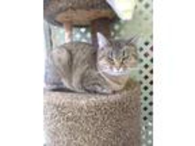 Adopt Gizmo a Tiger Striped Domestic Shorthair (short coat) cat in Austintown
