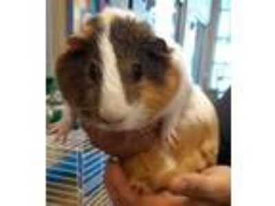 Adopt BEAR a Brown or Chocolate Guinea Pig / Guinea Pig / Mixed small animal in