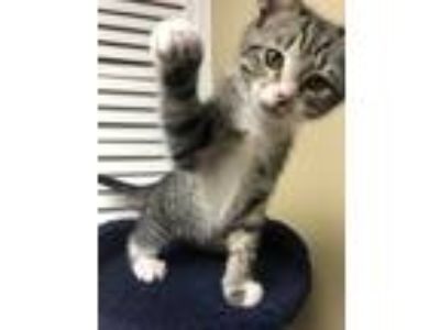 Adopt Daisy a American Shorthair cat in Acworth, GA (25577732)