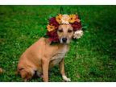 Adopt Bruiser a Black Mouth Cur / Labrador Retriever / Mixed dog in Sebastian