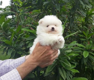 Very fluffy tiny white  pomeranian   puppy   male, top quality