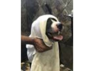 Adopt Ace a American Staffordshire Terrier, Retriever