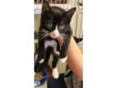 Adopt Barb a Domestic Shorthair / Mixed cat in Salisbury, MD (25636645)