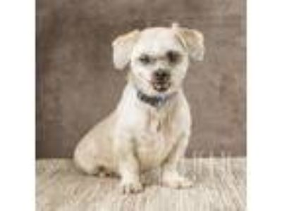 Adopt Deacon a Tan/Yellow/Fawn Shih Tzu / Mixed dog in Waco, TX (21505458)
