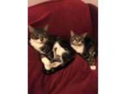 Adopt Mistress Jack a Gray, Blue or Silver Tabby American Shorthair / Mixed cat