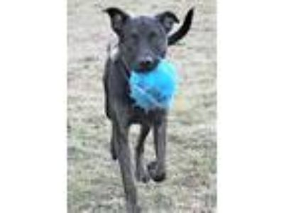 Adopt Atlas, super active and good with everyone! a Labrador Retriever