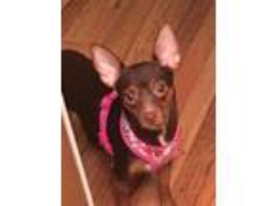 Adopt Tippy a Brown/Chocolate - with Tan Miniature Pinscher / Mixed dog in