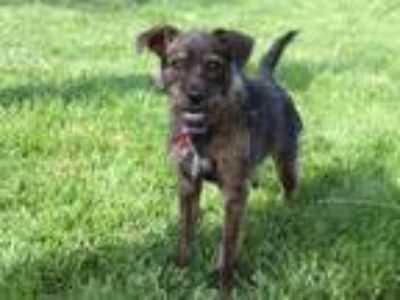 Adopt PUFFER a Brindle Cairn Terrier / Mixed dog in Maryland Heights