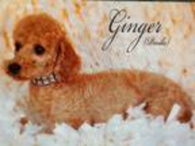 Gingers Pups