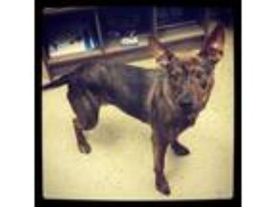 Adopt Angel a Dutch Shepherd