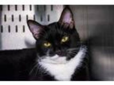 Adopt GIZMO a Black & White or Tuxedo Domestic Longhair / Mixed (long coat) cat