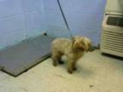 Adopt BENTLEY a Poodle, Mixed Breed