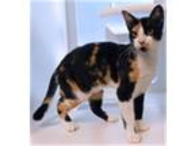 Adopt Cersei a Domestic Shorthair / Mixed cat in Topeka, KS (25281023)